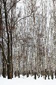 picture of birchwood  - oak trees in snowy birch grove in cold winter day - JPG