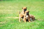 pic of belgian shepherd  - young puppies belgian shepherd malinois in field - JPG