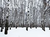 picture of birchwood  - the edge of snowy birch woods in winter - JPG