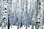 foto of birchwood  - natural background from frozen birchwood in winter - JPG