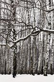 pic of birchwood  - snow covered branch and birch grove in winter - JPG