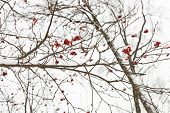 picture of rowan berry  - frozen bunches of red rowan berry on tree in winter - JPG