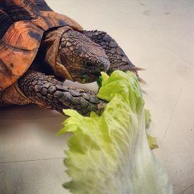 image of omnivore  - Tortoise - JPG