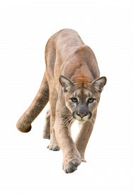 picture of cougar  - puma or cougar isolated on white background - JPG