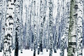picture of birchwood  - natural background from frozen birchwood in winter - JPG