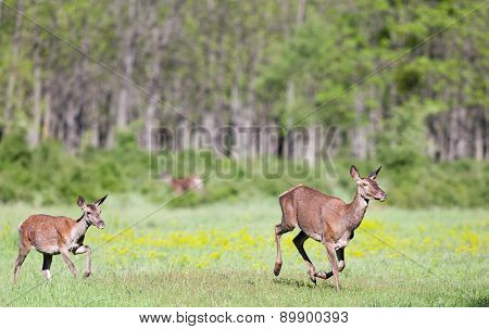 Hinds Running On Meadow