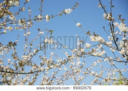 Boughs of Cherry Blossom