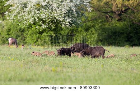 Wild Boars With Pilets In Wilderness