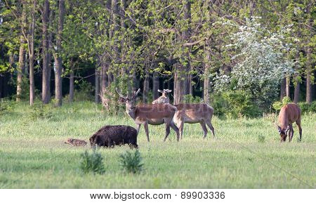 Red Deer And Wild Boar On Meadow