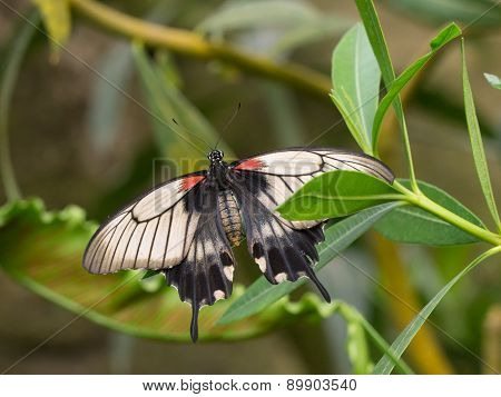 Exotic Great Mormon butterfly