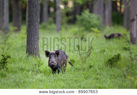 Wid Boar In Forest