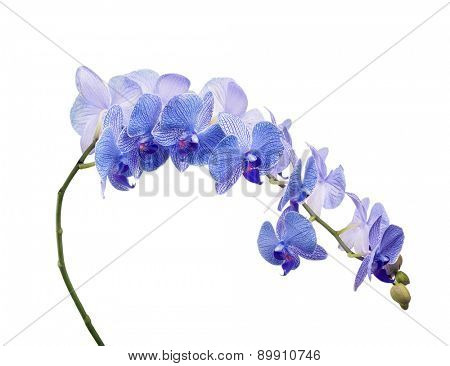 blue orchid flowers isolated on white background