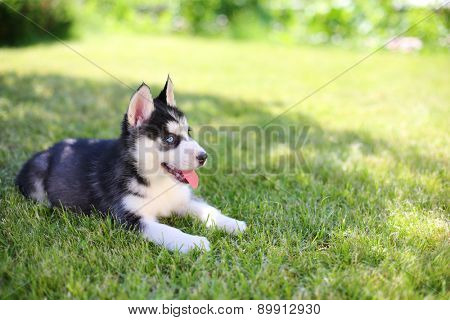 Little puppy husky lying on the green lawn