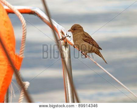 Sparrow on a yacht.