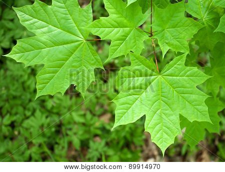 Background Close Up Of Fresh Green Maple Leaves In Spring Forest