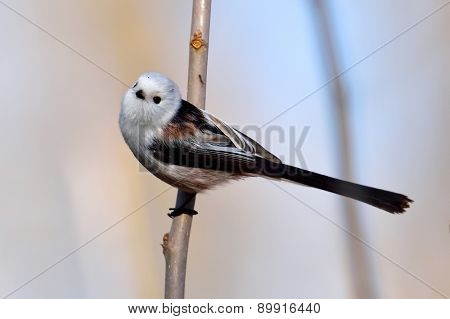 long tailed tit in natural habitat (aegithalos caudatus)