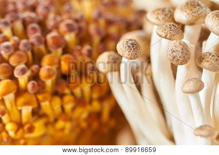 Brown beech Shimeji mushrooms, closeup