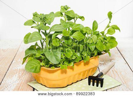 Seedlings Of Petunia