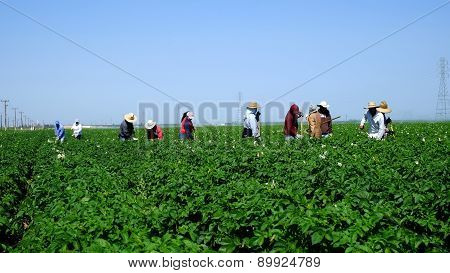 Farm Workers Hoeing in the Field