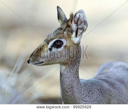 Dik Dik Gazelle