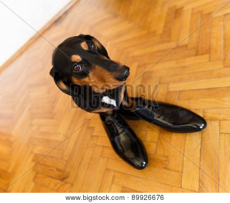 Elegant Dachshund Dog In Leather Men Shoes