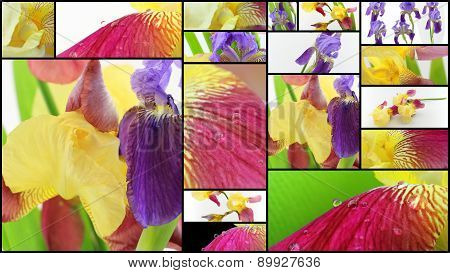 Purple And Yellow Iris Flowers Collage
