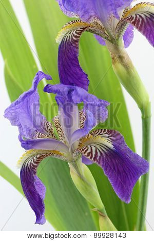 Purple Iris Flowers With Leaves Isolated On White Background