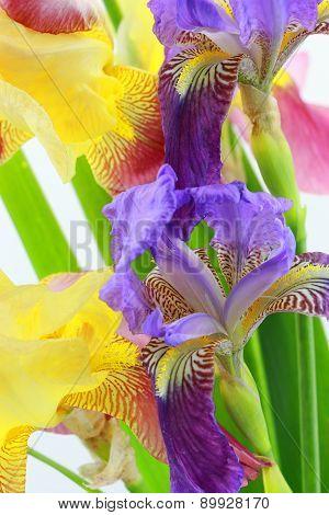 Purple And Yellow Iris Flowers On White Background