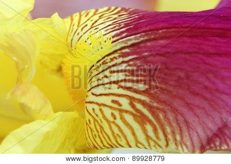 Vibrant Yellow Magenta Iris Flower Petals Closeup