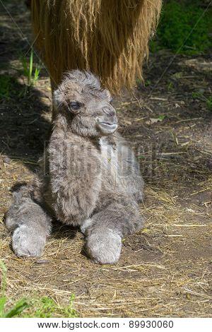 Newborn Bactrian Camel (camelus Bactrianus)