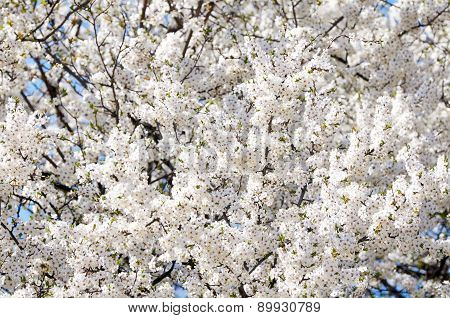 Blossoming of plum flowers