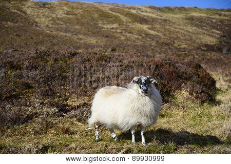 Mouton dans les lands