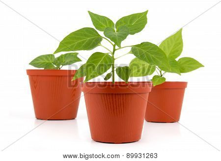 Potted hot pepper young plant growing over white background