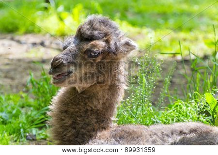 Portrait Of A Camel Baby
