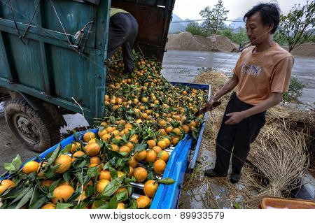 Chinese Farmers Unload Truck With Harvest Of Fresh Ripe Oranges.