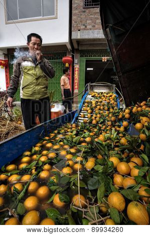 Asian Farm Worker Unloads Crop Of Oranges In Cleansing Bath.