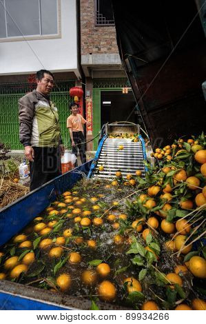 Chinese Farmer Watching Unloading Oranges In The Washer Container.