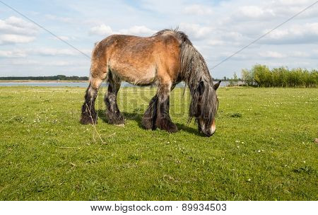 Grazing Belgian Horse From Close