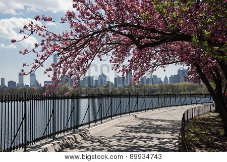 Cherry Blossoms Along The Central Park Reservoir ..