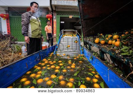 Chinese Farmer Prepares The Harvest Of Oranges For Processing.