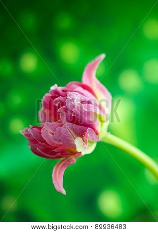 Beautiful pink double peony tulip on the green background.soft focus