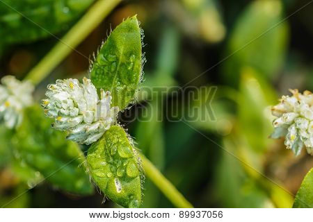 Grass Flower  With Dew Drops