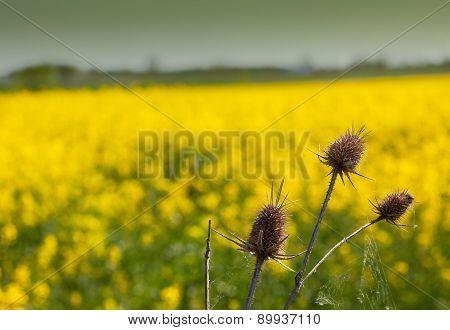 Dry burdock and rapeseed field