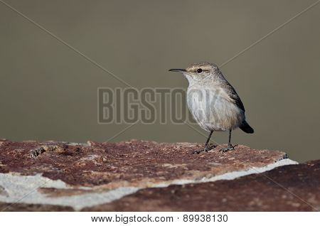 Rock Wren Resting On A Red Brick Wall