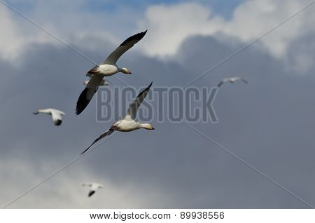 Flying With The Snow Geese High In The Cloudy Sky