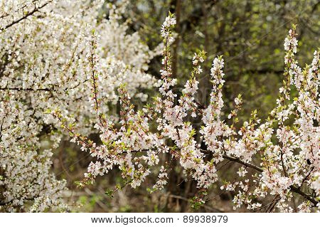 White Tart Cherry Blossoms En Mass