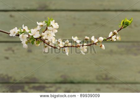 White Cherry Blossoms On Branch Against Painted Wall Copyspace