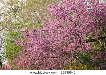Judas Tree Flower