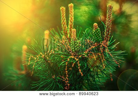 Budding Pine Cones In Sunset Light 1
