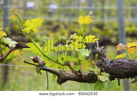 Grapevine In Tuscany